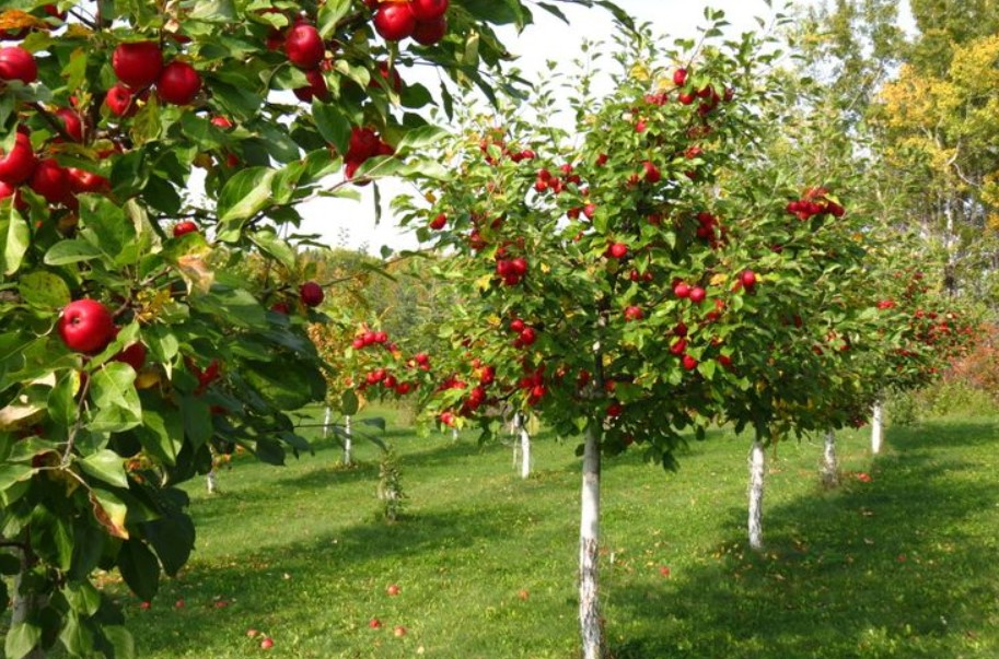 How to Find Apple Trees for Sale UK